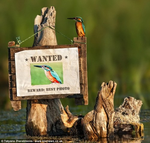 Daring Kingfisher returns to Scene of Crime