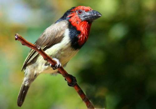 red collered Barbet