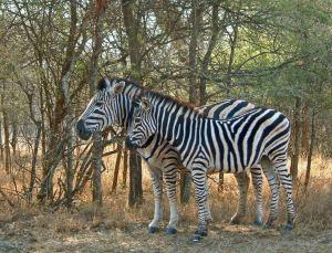 Zebra 1_edited-1
